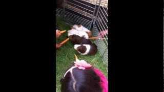 Mobile Animal Farms Melbourne - Bendigo, Animals 2u