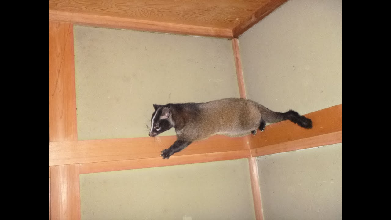 家の中に出没するハクビシン