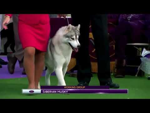 siberian husky, WESTMINSTER 2017