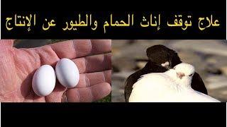 فيديو كيف نعالج توقف إناث الحمام عن الإنتاج/علاج نقص الكالسيوم عند الطيوروالحمام.