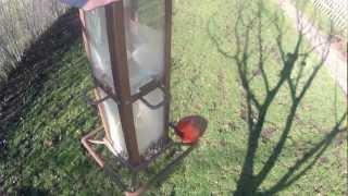 Cardinal And Chickadee Raid The Bird Feeder