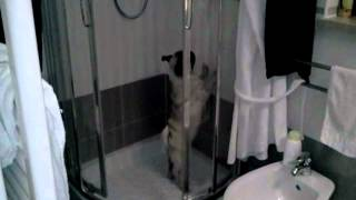 Lancillotto il carlino - pug 7 mesi - incredibile VUOLE FARE LA DOCCIA!!!