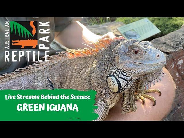 LIVE: FEEDING A GREEN IGUANA   AUSTRALIAN REPTILE PARK