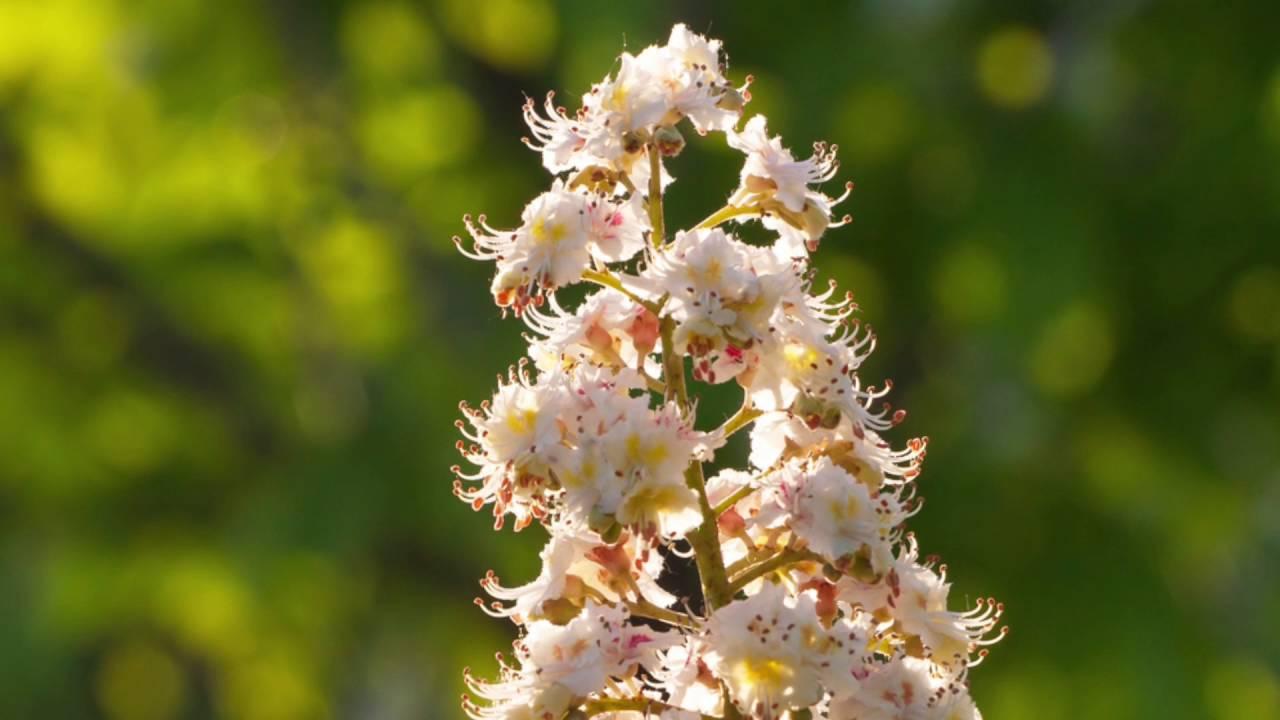 La Fleur De Bach White Chestnut Marronnier Blanc Youtube