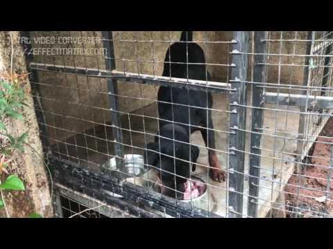 Rottweiler on raw diet; happy & healthy
