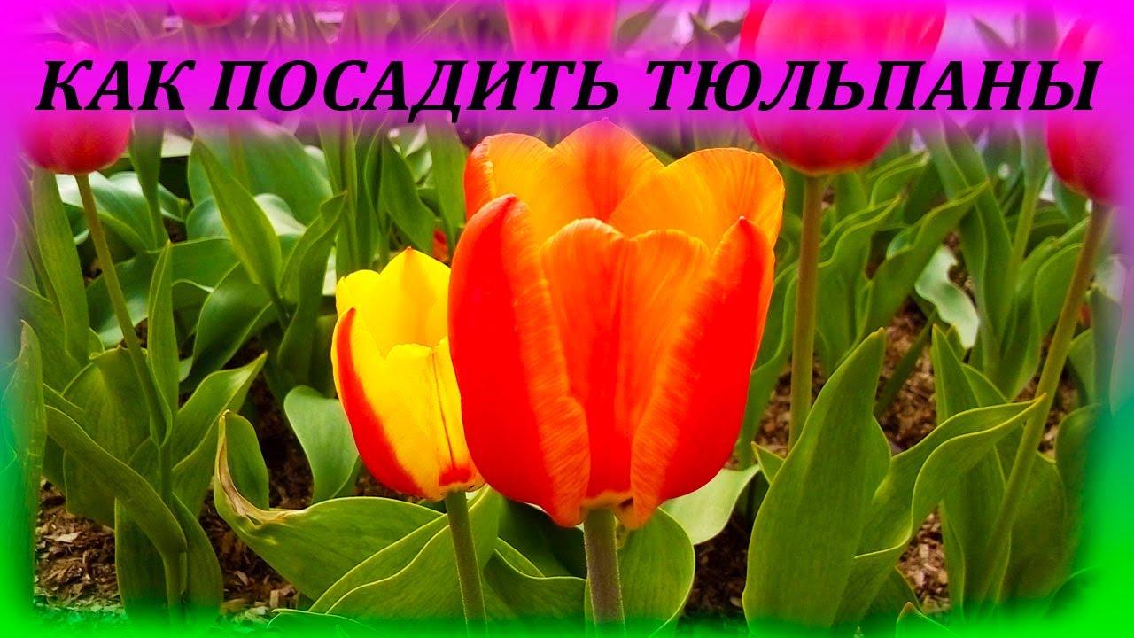 Малыши джункарики - кемпбелла пятнистые на продажу Москва .