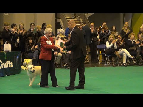 Crufts 2016 Labrador Best of Breed - Rocheby Sensational