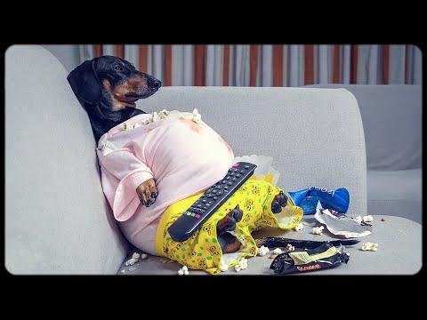 I'm a fat guy! Cute & funny dachshund dog video!