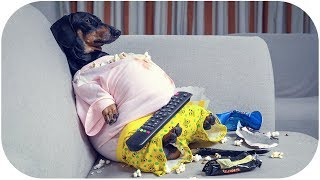 i-m-a-fat-guy-cute-funny-dachshund-dog-video