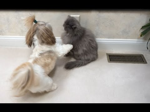 Shih Tzu dog Lacey wants to play with Blue Persian cat Lexi