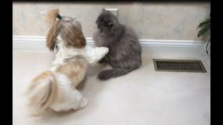 Shih Tzu dog Lacey 🐶 wants to play with Blue Persian cat Lexi 😾 | Zoomies 💨