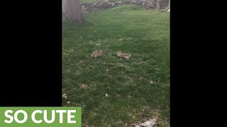 Backyard bunnies have cutest hopping fight