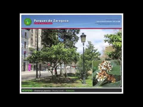 Plaza Basilio Paraíso de Zaragoza - Especies ornamentales