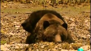 Los Osos Grises-Grizzly- (Documental) Sobreviviendo en la naturaleza_Español-Castellano
