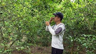 【潮州山哥】廣東桂味荔枝成熟了,山哥5點就起床跟老媽進山摘,趕早市上賣