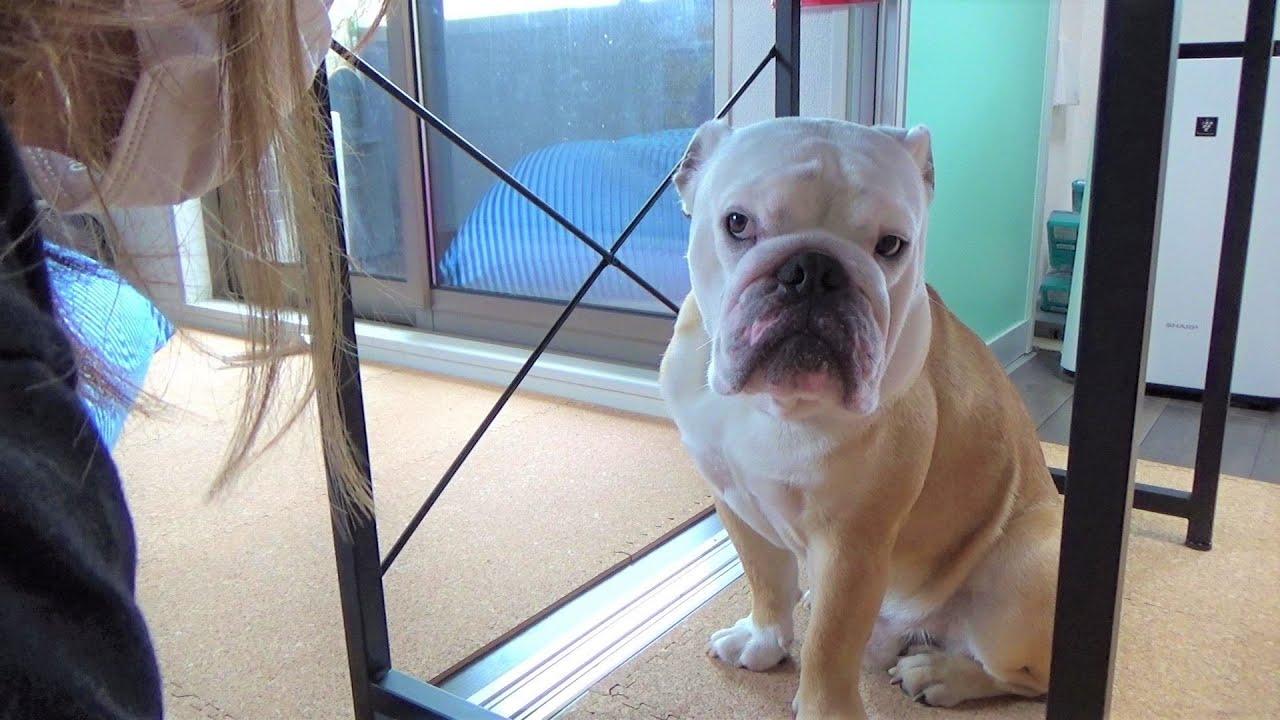 シャンプーするのが嫌で机の下で籠城する犬がカワイイ!