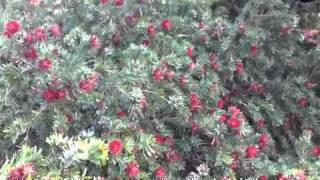 Callistemon citrinus 'Little John' - 'Little John' Lemon Bottlebrush