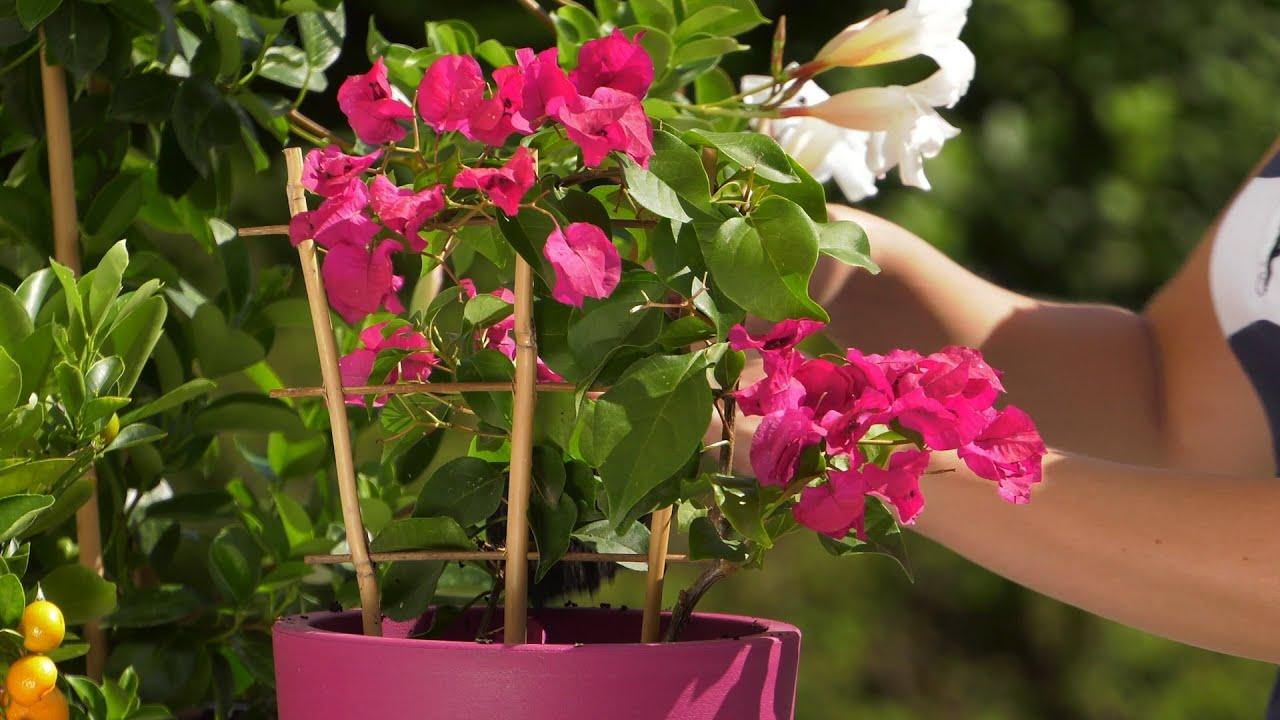 Kwiaty Na Balkon I Taras Bugenwilla I Mandevilla Rosliny Srodziemnomorskie Youtube