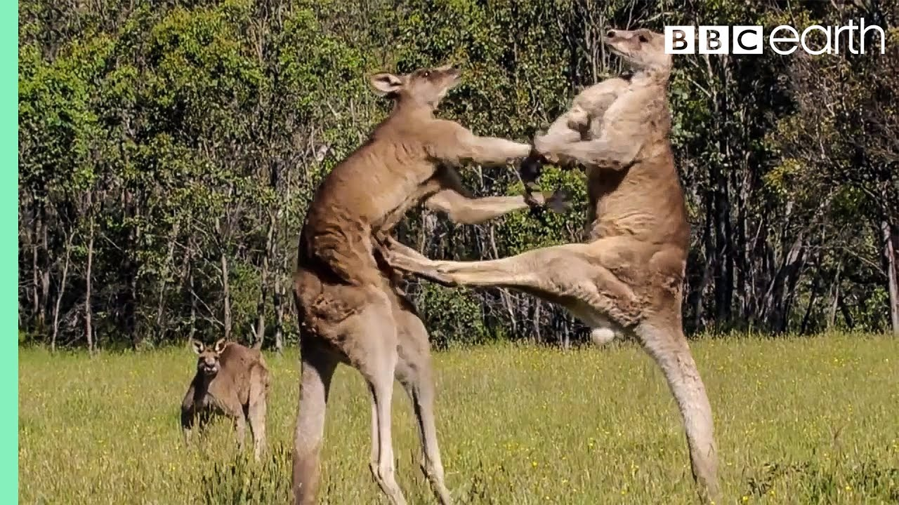 kangaroo boxing fight life story bbc youtube