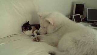 hardy the samoyed puppy and his roomate