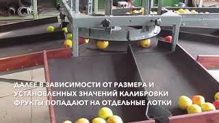 Линия сортировки яблок