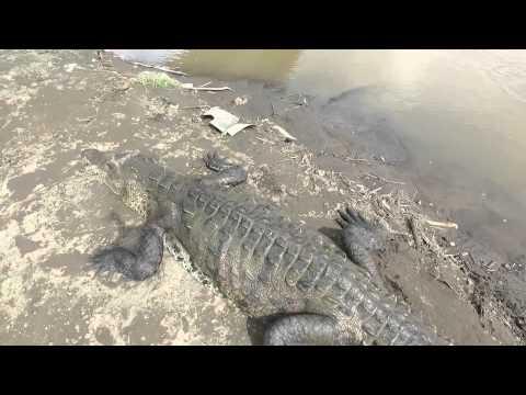 Rio Tarcoles, Costa Rica Crocodile Bridge by Drone!