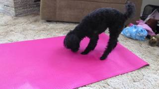 Poodle Playing With Yoga Mat