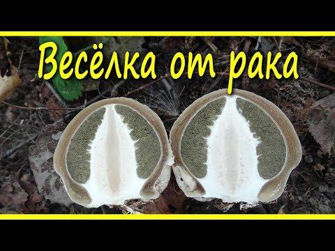Рейши ганодерма гриб купить, цена 250 ₽ ganoderma lucidum