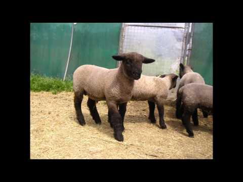 Ovejas y corderos suffolk
