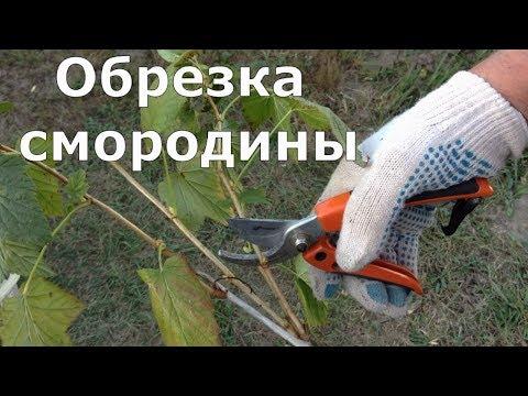 Как правильно подрезать смородину осенью видео