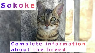 Sokoke. Pros and Cons, Price, How to choose, Facts, Care, History
