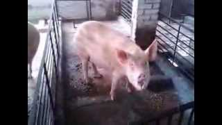 ISHWAR SINGH PIG AND GOAT FARM  India- 09896505524