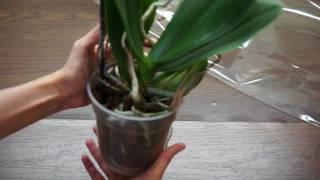 Новая орхидея Фаленопсис из Ашана;орхидеи за 71рубль :))