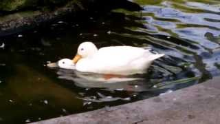 White Ducks Mating in Duck Pond (UK Water Birds)
