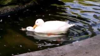 White Ducks Mating in Duck Pond (UK Water Birds)