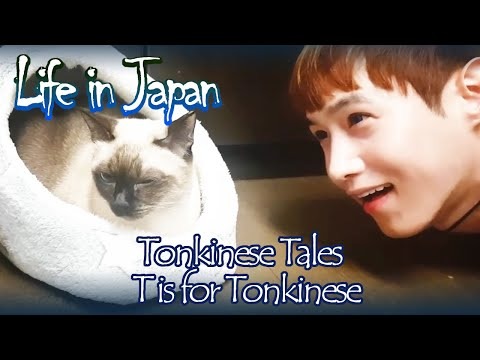 [Tonkinese Tales] T is for Tonkinese