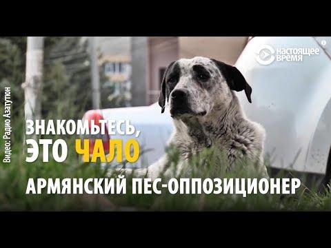 Бездомный пес, талисман протестов в Армении