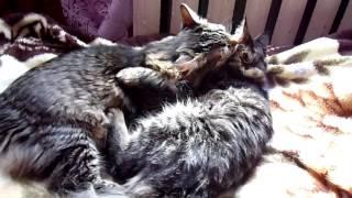 коты любят лизать