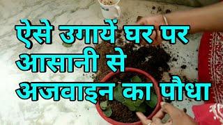 ऐसे उगाये घर पर आसानी से अजवाइन का पौधा,ajwain germination, growing guide