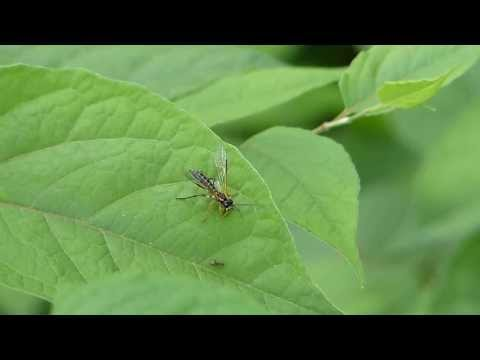 Adult Sawfly Eats a Bug ハバチが虫を捕食