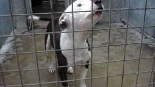 Champ - Staffordshire Bull Terrier Avaliable For Adoption