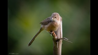 4K Mini Wildlife Moments: Sparrow filmed in Gurgaon with the Sony A7S3