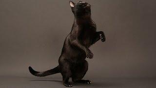 Bombay cat / Бомбейская кошка