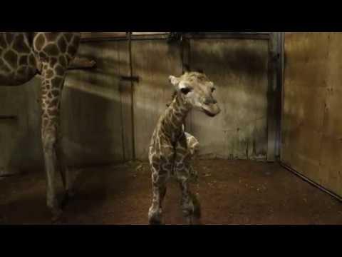 Perth Zoo Welcomes A Giraffe Calf