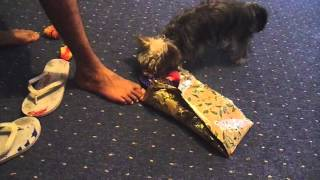 Yorkshire Terrier Opens His Xmas Gift