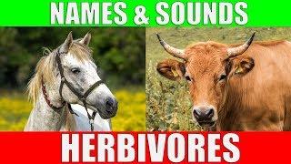 HERBIVOROUS ANIMALS Names and Sounds | Learn Herbivore Animals