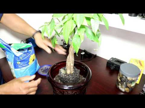 My Money Tree Plant -Re-potting, Pruning and Transplant