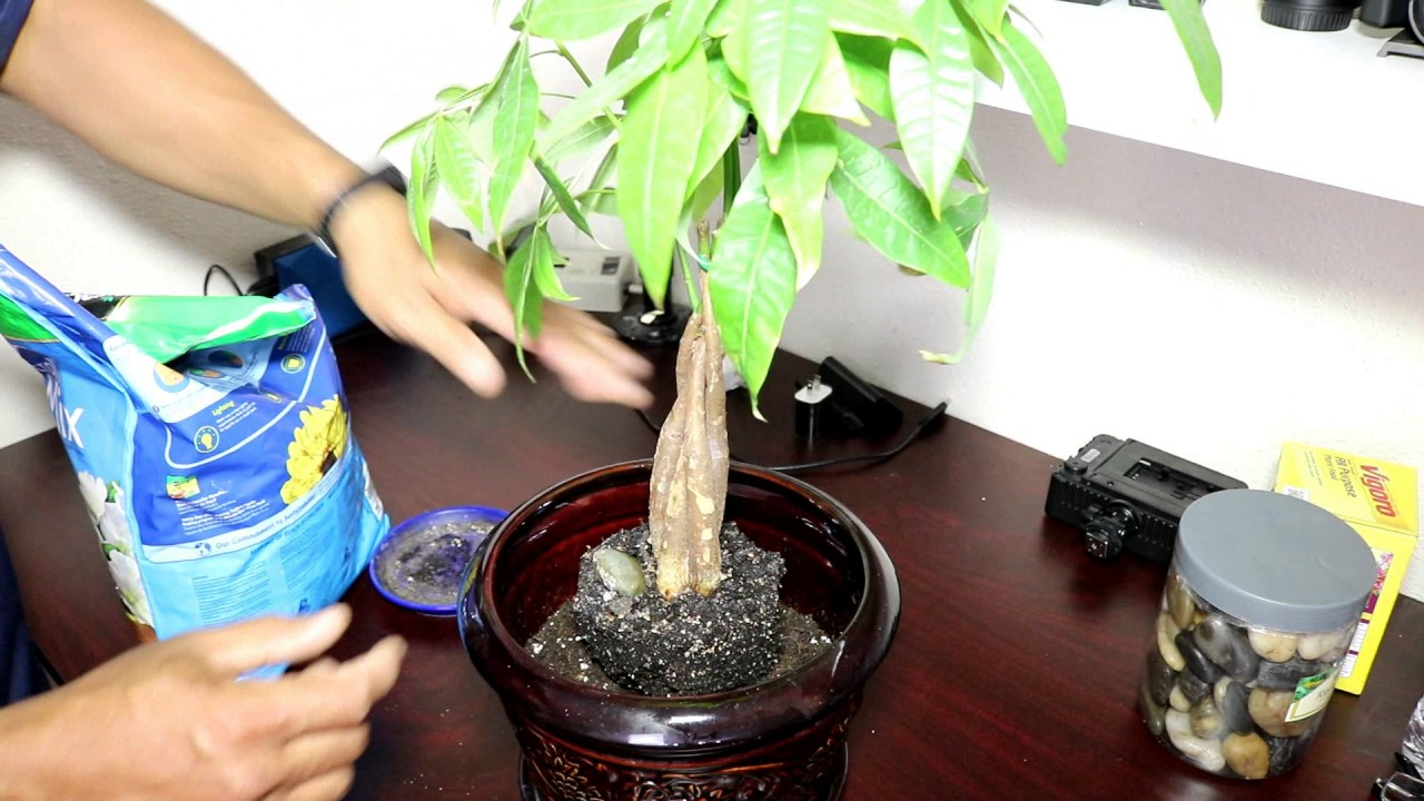 My Money Tree Plant Re Potting Pruning And Transplant