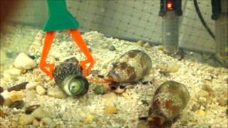 Conus textile envenomating a Mexican turbo snail.