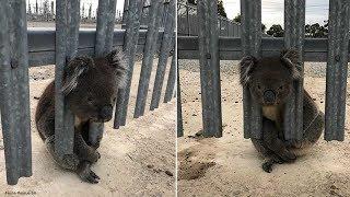 Disgruntled koala realizes he's made a huge mistake